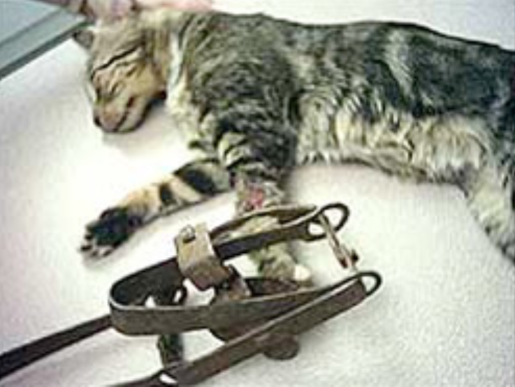 picture of cat with trap injury