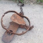 Picture of a leghold trap