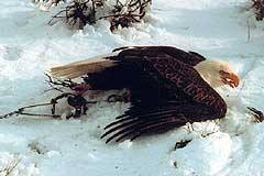 Eagle in trap