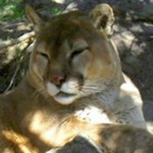 Picture of Cougar